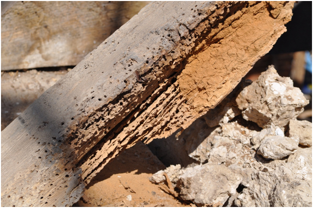 Severe beetle infestation in an oak rafter foot, possibly caused by the Death Watch Beetle (Xestobium rufovillosum)